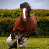 Gypsy Vanner Running